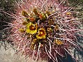 Blooming barrel cactus.jpg