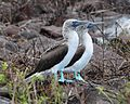 Blue-footed Booby (4884590463).jpg
