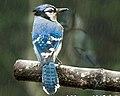Blue Jay Cyanocitta cristata.jpg