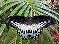 Blue Mormon butterfly (6781122261).jpg