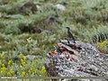 Blue Rock Thrush (Monticola solitarius) (32846006115).jpg