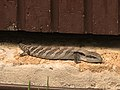 Blue tongue lizard in Sydney backyard.jpg