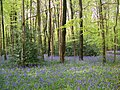 Bluebell woods near Whitehouse Farm - geograph.org.uk - 790791.jpg