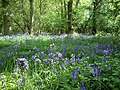 Bluebells in Hildersham Wood - geograph.org.uk - 430947.jpg