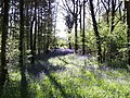 Bluebells in Round Wood. - geograph.org.uk - 396931.jpg