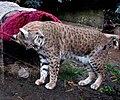 Bobcat (2146604085).jpg
