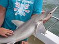 Bonnet Head Shark.jpg