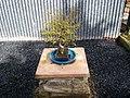 Bonsai Tree - geograph.org.uk - 739036.jpg