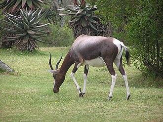 Bontebok National Park - Bontebok