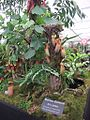 Borneo Exotics Nepenthes display, 2011 Chelsea Flower Show.jpg