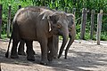 Borneo Pygmy Elephants (11931828605).jpg