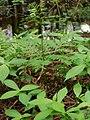 Botrychium virginianum natunohnwrb01.jpg