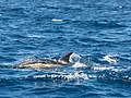 Bottlenose dolphin (19636443435).jpg