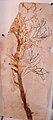 Brachyphyllum nepos.JPG