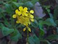 Brassica nigra.jpg