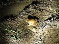 Braunfrosch (Brown Frog) im Kollunder Wald.JPG