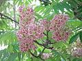 Bretschneidera sinensis Hemsl BRETSCHNEIDERACEAE 02.JPG