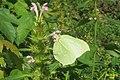 Brimstone nectaring (NH Doly) (31285452413).jpg