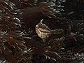 Bristletail Filefish (Acreichthys tomentosus) (14226031287).jpg