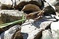 Broad Green-winged Grasshopper (Aiolopus strepens) eating grass ... (43671600460).jpg
