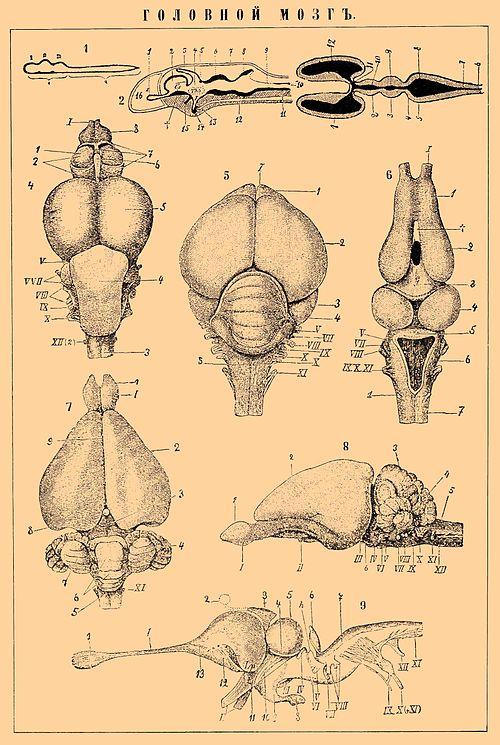 ГОЛОВНОЙ МОЗГ 1. Схема эмбрионального развития центральной нервной системы. а- головной мозг с его тремя первичными...