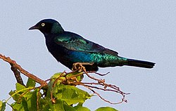 Bronze-tailed Starling (Lamprotornis chalcurus) (8080028430) (cropped).jpg