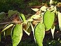 Broussonetia papyrifera 2ElPoblado Puertollano.jpg