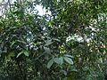 Brown's Humboldtia (16098923477).jpg