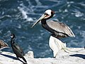 Brown Pelican (38977926490).jpg