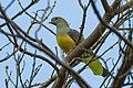 Bruce's Green Pigeon - Gambia (32495702332).jpg