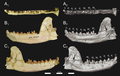 Brychotherium dentary Holotype Borths et al 2016.png