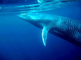 Baby Brydes whale