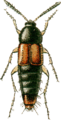 Bryocharis analis Jacobson.png