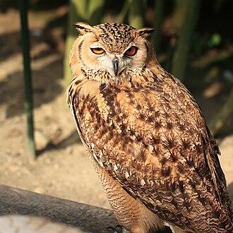 Pharaoh eagle-owl - At Kakegawa Kacho-en, Kakegawa, Shizuoka, Japan