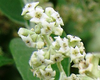 <i>Buddleja cordata</i> species of plant