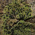 Buellia vernicoma - Flickr - pellaea (1).jpg