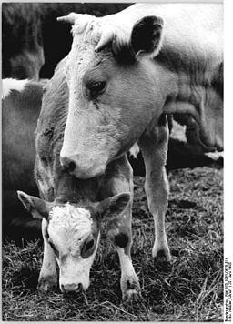 Bundesarchiv Bild 183-1985-0628-016, Stolpen, Kuh mit Kalb