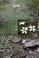 Burchardia umbellata (24904977011).jpg