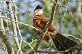 Burchell's Coucal (Centropus burchellii) (16507758557).jpg