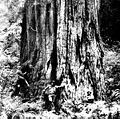 Burnham sequoia 1908.jpg