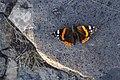 Butterfly (225333847).jpeg