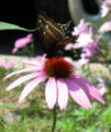 Butterfly On Pink Flower.jpg