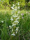 Butterfly Orchid - Platanthera chlorantha 2a