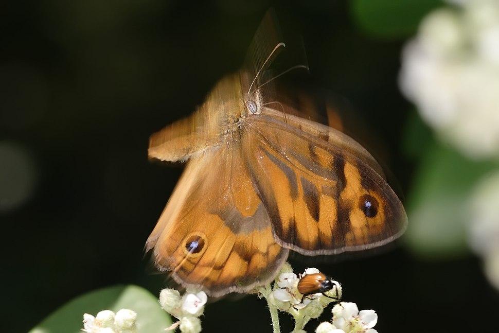 Butterfly midflight