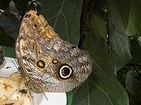 Butterfly with owl eye (12363879974).jpg