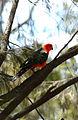 CSIRO ScienceImage 3482 King parrot Black Mountain ACT.jpg