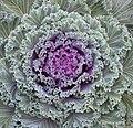 Cabbage (6235296681).jpg