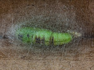 Cabbage looper - Cabbage looper pupa
