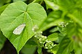 Cabbage white (29018132567).jpg
