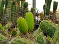 Cactaceae in iran- mahallat city 04.jpg